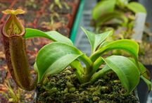 Pitcher Plants | Nepenthes / Tropical Pitcher Plants ( Nepenthes ) come in so many shapes and forms it is impossible to count. New species are found in rainforests and a top large mountains ranging from Indonesia through some isolated S. Pacific Islands