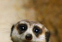 Meerkats / surykatki