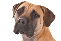 """Boerboel / The Boerboel is a large dog that is strong, confident and muscular with a distinctive, blocky head. The word Boerboel means """"Farm Dog"""" and it serves as a capable working dog as well as a loyal companion in its home country of South Africa. The skin of a Boerboel should be dark on his stomach and under his fur, as well as the roof of his mouth, which protects against heat and sun. The coat is short, dense coat can be brindle, brown, cream, reddish brown or tawny."""