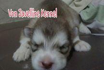 Jual anjing Alaskan Malamute  wrna merah (Von  Javelline Kennel)