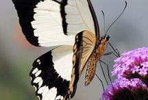 Butterfly means Beauty