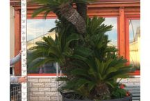 Cycas / Cycas is a indoor and outdoor tropical plant