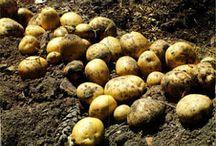 Gardening - Potatoes and Sweet Potatoes