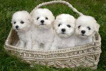 Dog Breeds: Bichon Frisé