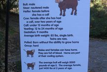 Cattlewomen