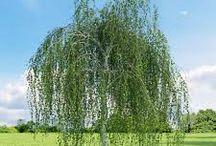 O&D / Drzewa i krzewy