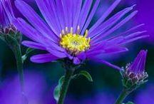 Astern und Chrysanthemen