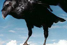 Ravens & Crows / by Kathy Morton Stanion