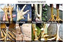 Ayam Bangkok Aduan / Ayam Bangkok Aduan