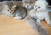 my scottish cats / my scottish and british cats