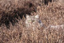 Norwegian Forest Cats ♡