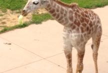 Giraffes<3