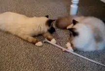 Ragdoll Kitten Videos