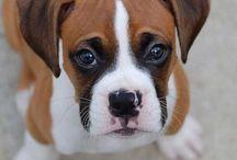 Boxer dog & sevimliler