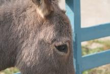 Ezeltjes (donkeys)