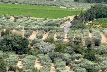 Drzewa oliwne w Izraelu ...