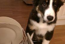 Loki & other Icelandic sheepdogs