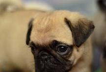 Lovely Pugs
