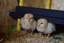 csirke, szárnyasok...