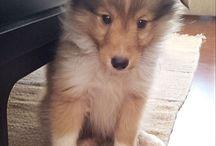 Shelties :* / My dog pased away a few weeks ago :'(