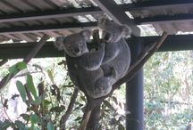 Lone Pine Koala Sanctuary in Queensland, Australia / Close encounters with Koalas, kangaroos, dingoes, wombats, platypus, emus... Leslie worked there for some time and tells us about her experience! http://www.workingtheworld.fr/en/quels-pays/travailler-avec-des-animaux-en-australie/