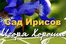 сад цветы ирисы