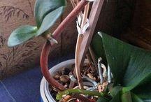 Plantes/orchidée