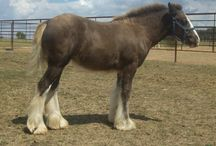 CHF Zeva / Lovely filly by Talbot's Sparky out of Lora of Martock, both imported and proven to produce exceptional foals.