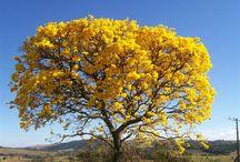 Árvores Brasileiras / Sobre belas cores das arvores brasileira