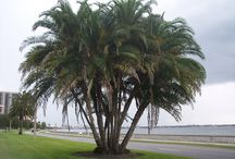 Palm Trees / We specialize in Phoenix Dactylifera (Date Palm, Deglet Noor, Medjool, Zahidi), Washingtonia Filifera – California Fan Palm, Washingtonia Robusta – Mexican Fan Palm.