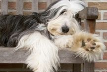 BEARDED COLLIE / Standing 20 to 22 inches at the shoulder and covered head to tail in a shaggy coat, Bearded Collies bear a passing resemblance to another of Britain's droving dogs, the Old English Sheepdog. But beneath the coats, Beardies are the more lean and angular of the two. The lavish facial hair shouldn't obscure the characteristic expression: a dreamy, faraway gaze that conveys.