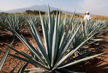 Mezcal Artesanal / El dulce sabor del #Agave #Morelos
