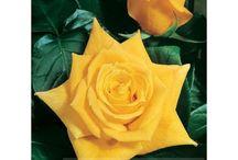 Róże / Roses