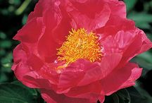 Early Season Peonies / Early season Peonies are the first to bloom around early June. Start the glorious Peony season with any of the varieties on this board. We've included some companion planting ideas too. You can have a long season of Peonie blooms by choosing from early-, mid- and late-season varieties.  / by White Flower Farm