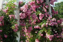 Trandafiri cățărători