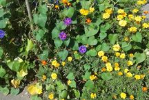 Flowers of Cotroceni / Beautiful flowers revealing themselves in a beautiful neighbourhood, Cotroceni
