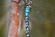 Dragonflies  / by Trish Hubbard