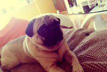 Hugo the Pug