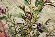 PANC / Plantas Alimentícias Não Convencionais