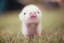 p i g g y  l o v e ♥  / because i have a random love for little piglets. / by Alycia Crowley