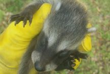 DIY Wildlife Control / Professional wildlife control services for nuisance wildlife. Raccoon, skunks, squirrels, opossums, armadillos and more.