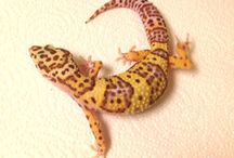 Leopard Gecko Adults