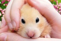 hamsters / they are a type of mouse.