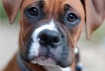 Dog Breeds: Boxer
