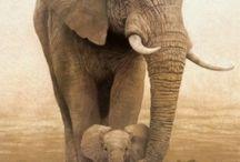 Animals  / Elephants