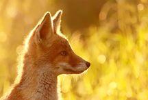 Fotos - Foxes