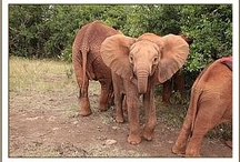The DSWT // Kwale / Poor Kwale was found trapped in a bottom of a dug out well, abandoned by her mother who had to make the painful decision to leave her after spending the night unsuccessfully trying to free her, because of the threat from humans close by.  Kwale is finding the influence of the other orphans calming and reassuring, and is finding happiness with her new family.  To learn about how Kwale has been settling into the orphanage, and to foster her, visit http://sheldrickwildlifetrust.org/asp/fostering/as / by David Sheldrick Wildlife Trust