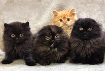 Scottish Fold cats/kittens / by Peggy Roberts Dvm