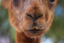 ΑΛΠΑΚΑΣ - ΛΑΜΑ / Υπάρχουν πολλές διαφορές μεταξύ των λάμα και alpacas. Η λάμα είναι περίπου δύο φορές το μέγεθος του αλπακά. Το αλπακά ήταν  εξημερωμένο και εκτρέφεται πάνω από 5.000 χρόνια για το μαλλί του. Η λάμα εκτρέφεται  για το ίδιο χρονικό διάστημα ως υποζύγιο.