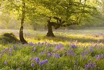 Bluebells / Bluebells grace woods throughout the UK every year. We look after some spectacular sites. Here are our favourites / by Woodland Trust